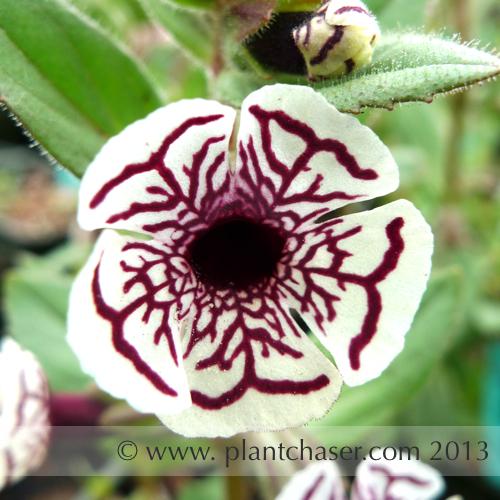 Mimulus pictus  'Calico monkey' flower