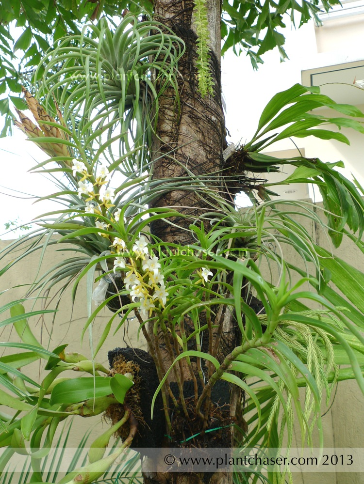Eria-orchid-05.jpg