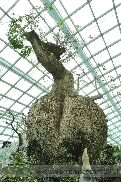 Adansonia spp.