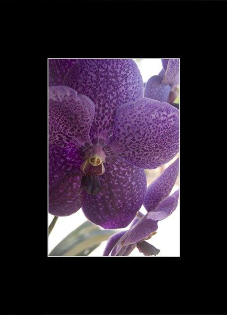 Nha Trang Orchid 1.0.jpg