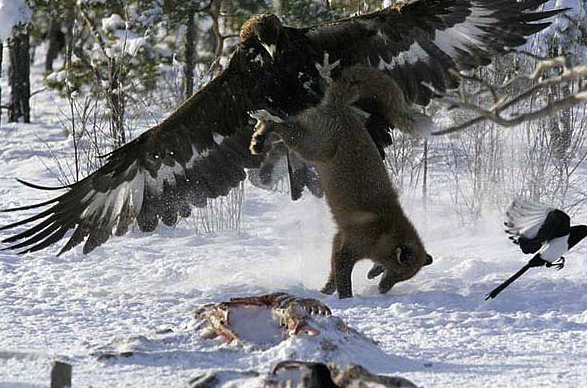 Eagle Wolf.png