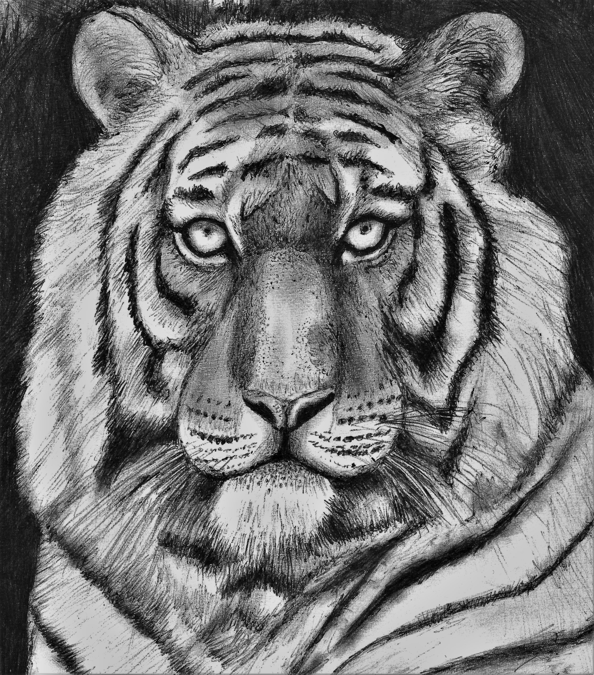 (Study of Tiger) pen on paper