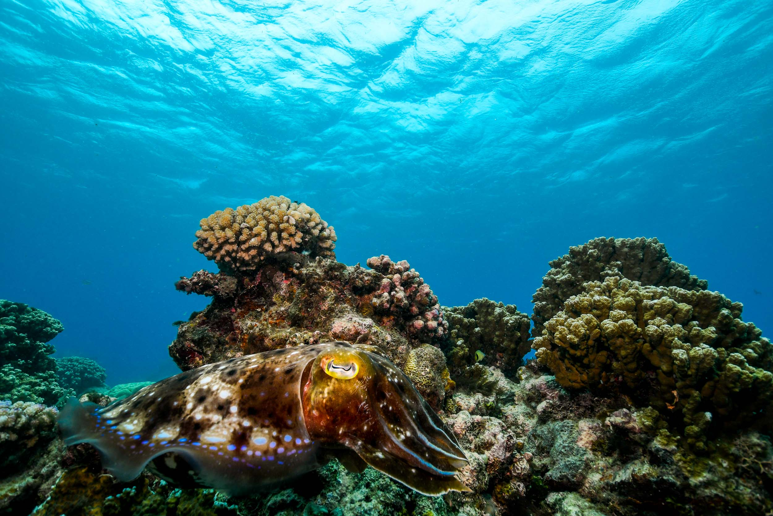 cuttlefish-great-barrier-reef-port-douglas-australia-1.jpg