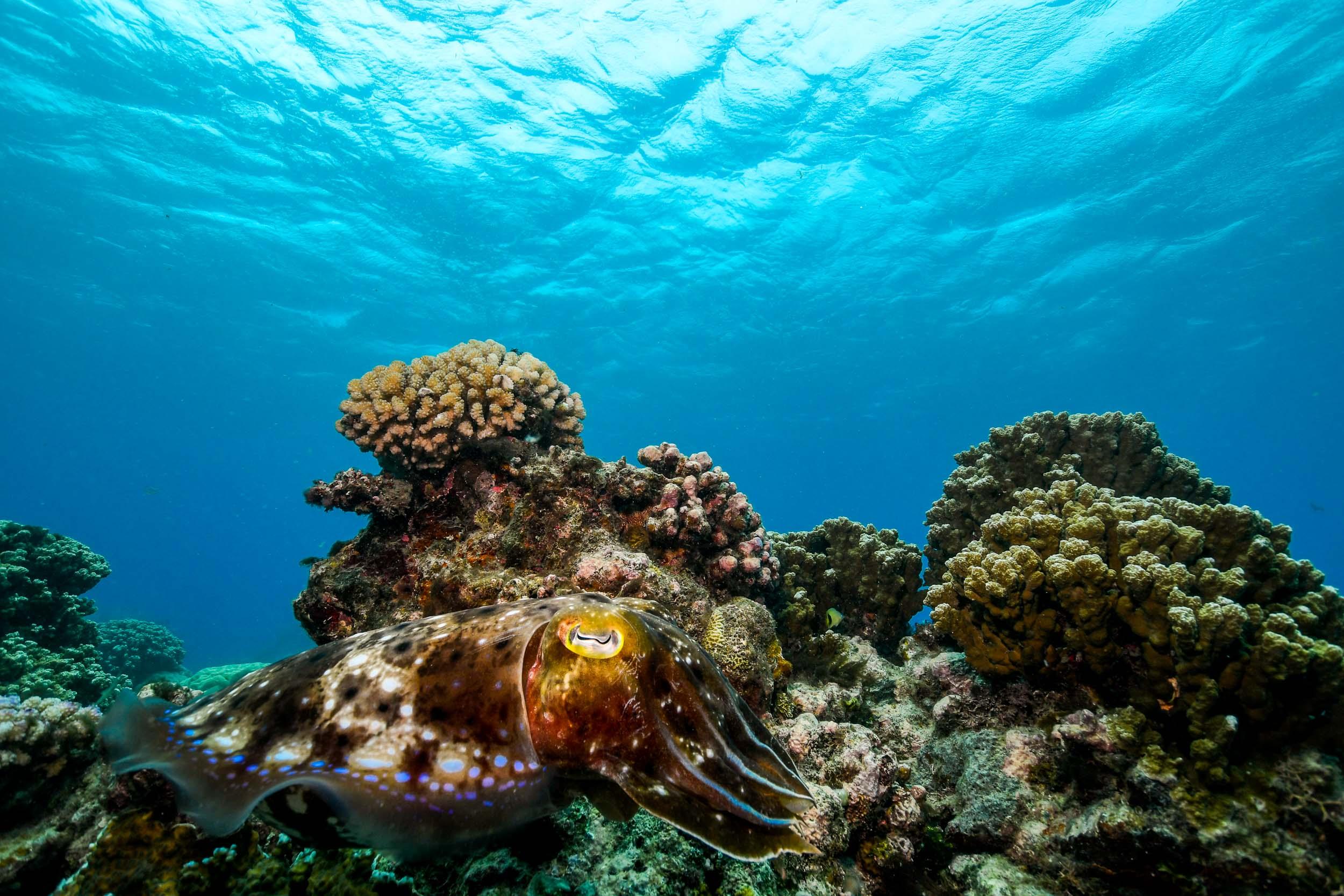 cuttlefish-great-barrier-reef-port-douglas-australia-1.jpg