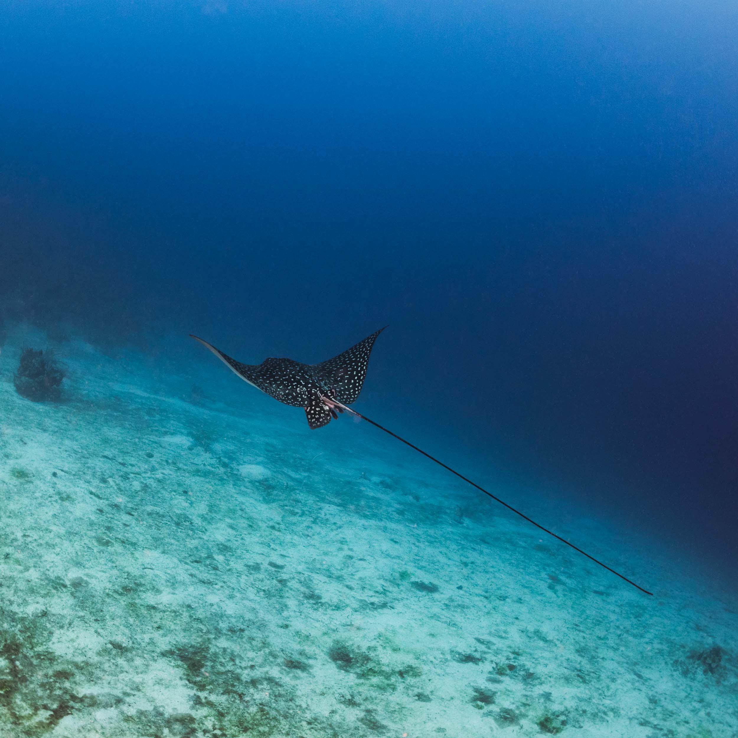 eagle-ray-utila-honduras-1.jpg