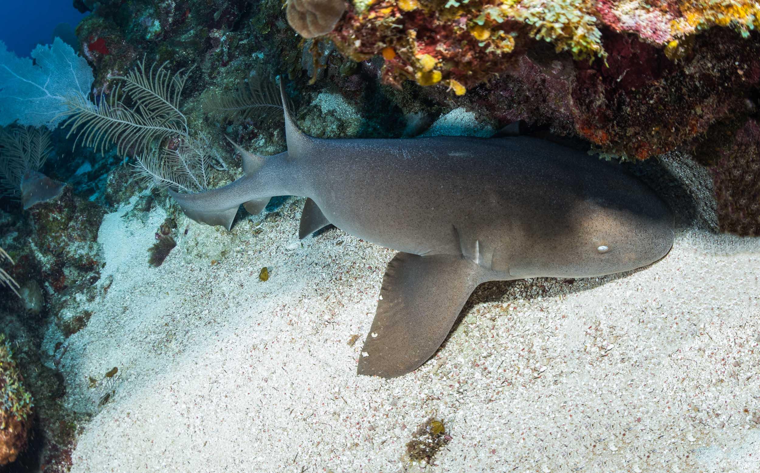 nurse-shark-utila-honduras-2.jpg