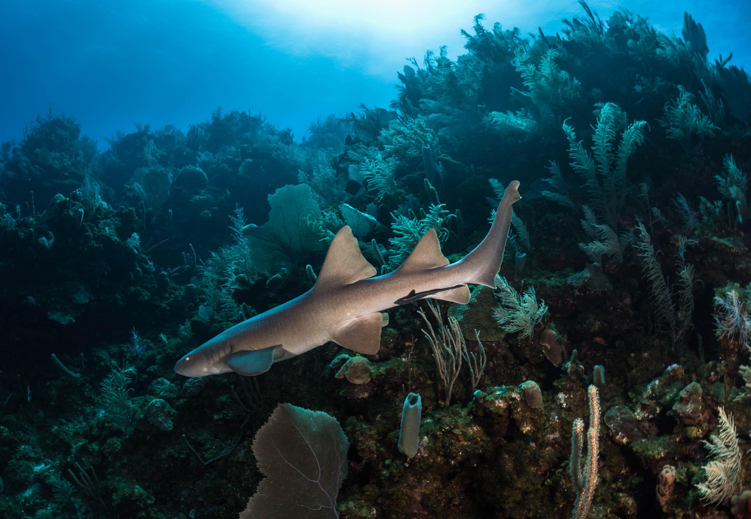 nurse-shark-utila-honduras-1.jpg