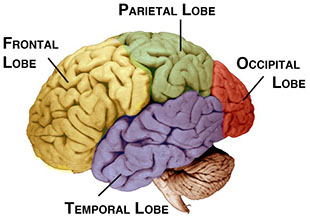 The human brain and it's primary lobes.