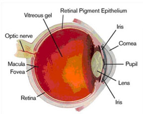 Schematic of the Eye