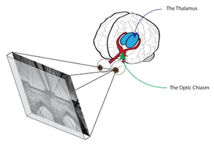 The human visual system. The red fibers represent the optic chiasm while the blue clusters represent the thalamus.