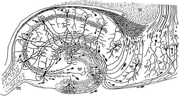 A hippocampal drawing by Santiago Ramón y Cajal