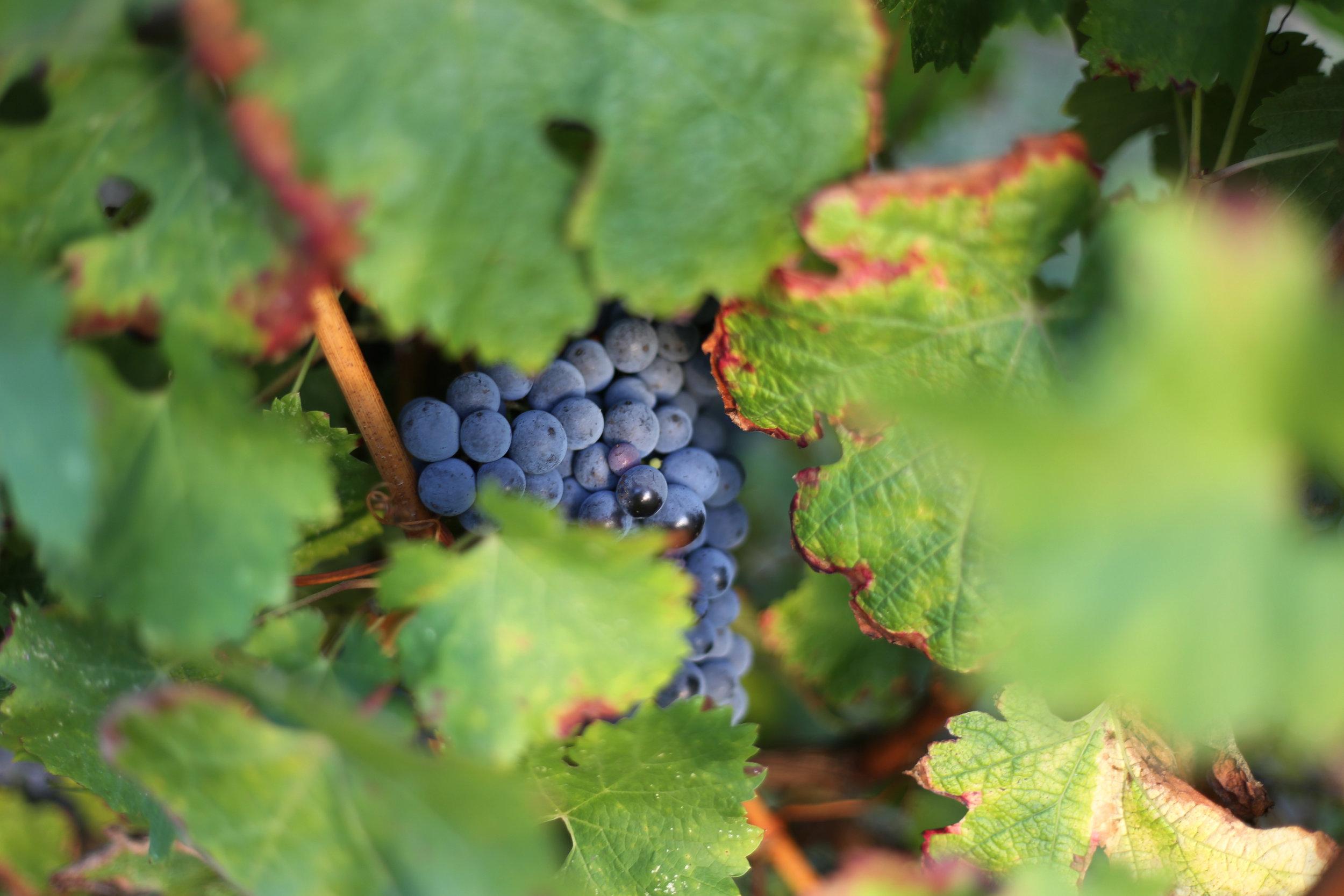 Bordeaux wineyard.jpg