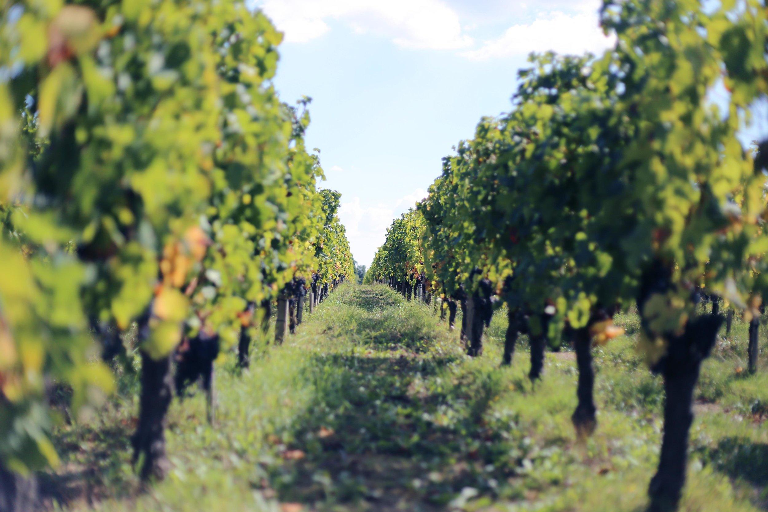 bordauex wineyard.JPG