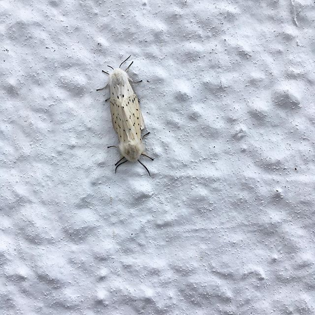 Pushme pullme #moths #whitemoths #whiteerminemoth #pushmepullme #lepidopterist #seamills #seamillswildlife