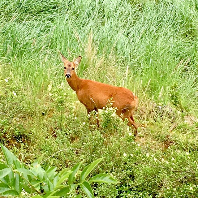 Oh deer #babydeer #cyclehome #bristolnature #lucky #lovewhereyoulive #portway #bristol #bristolwildlife #ohdeer #ohdear #bristol247 #springwatch
