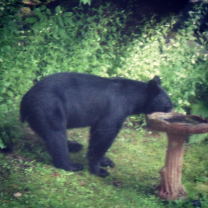 Bear seen on the property