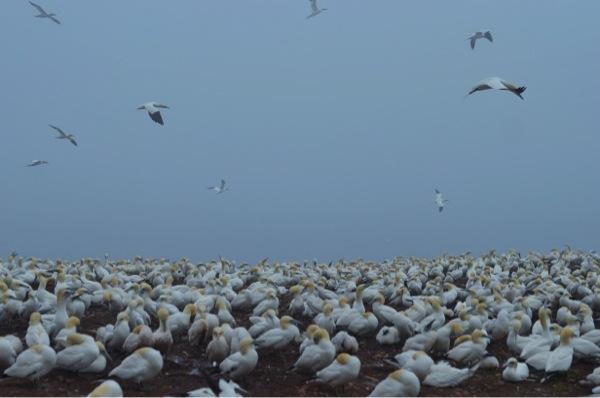 Gannet Colony: Shrieking Mass of Birds