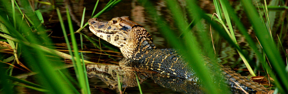 The rare caiman negro. It's black skin is particularly popular for shoes and purses.