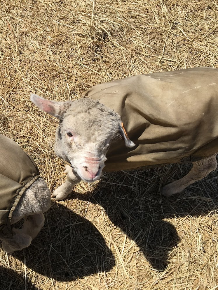 Some of the adorable lambs at Starshire Ranch.