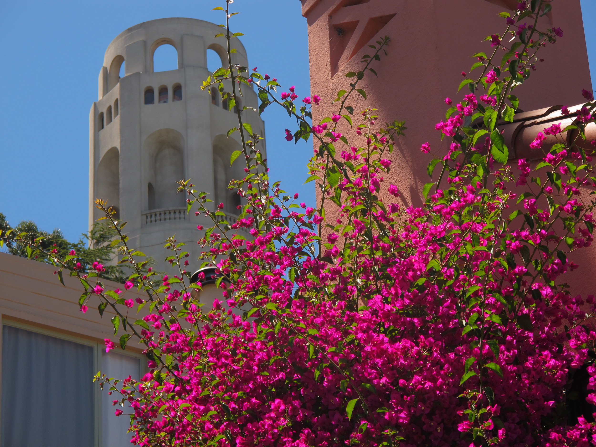 Bougainvillea, Telegraph Hill, San Francisco