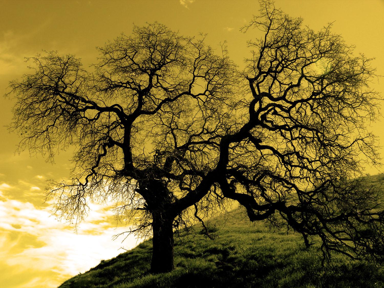 Sepia Oak Tree, CA 3rd Place