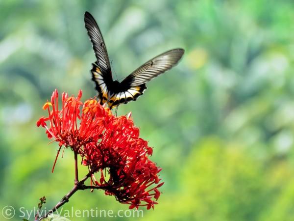 Bali Butterfly