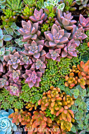 Succulent Candy (Succulent design by Robin Stockwell of Succulent Gardens)