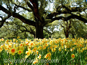 Southern Daffodils