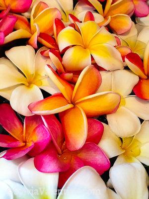 Plumeria, Kauai