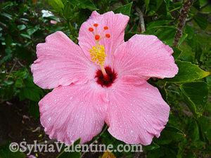 Pink Hibiscus, Kauai