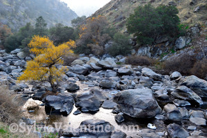 Kern River Cottonwood