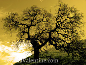 Sepia Oak Tree
