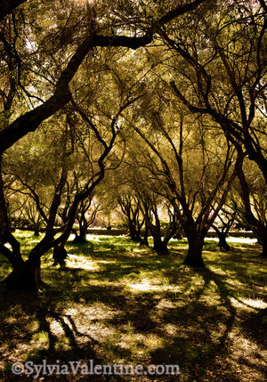 Olive Tree Meadow