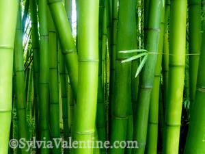 Bamboo Giant