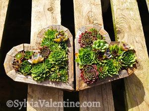 Dual Hearts, Succulent Gardens, CA