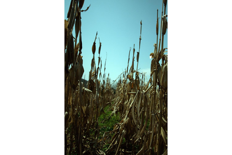 Corn1-1500.jpg