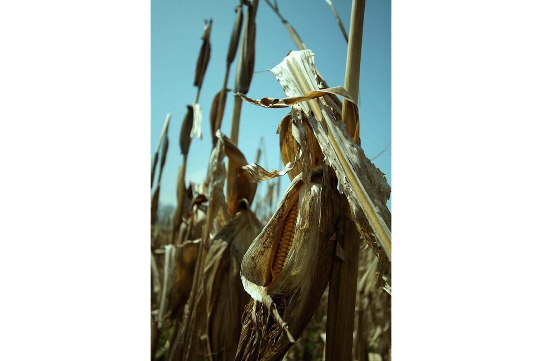 Corn2-1500.jpg