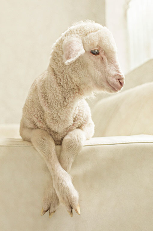 Portrait of a lamb on a couch in a studio