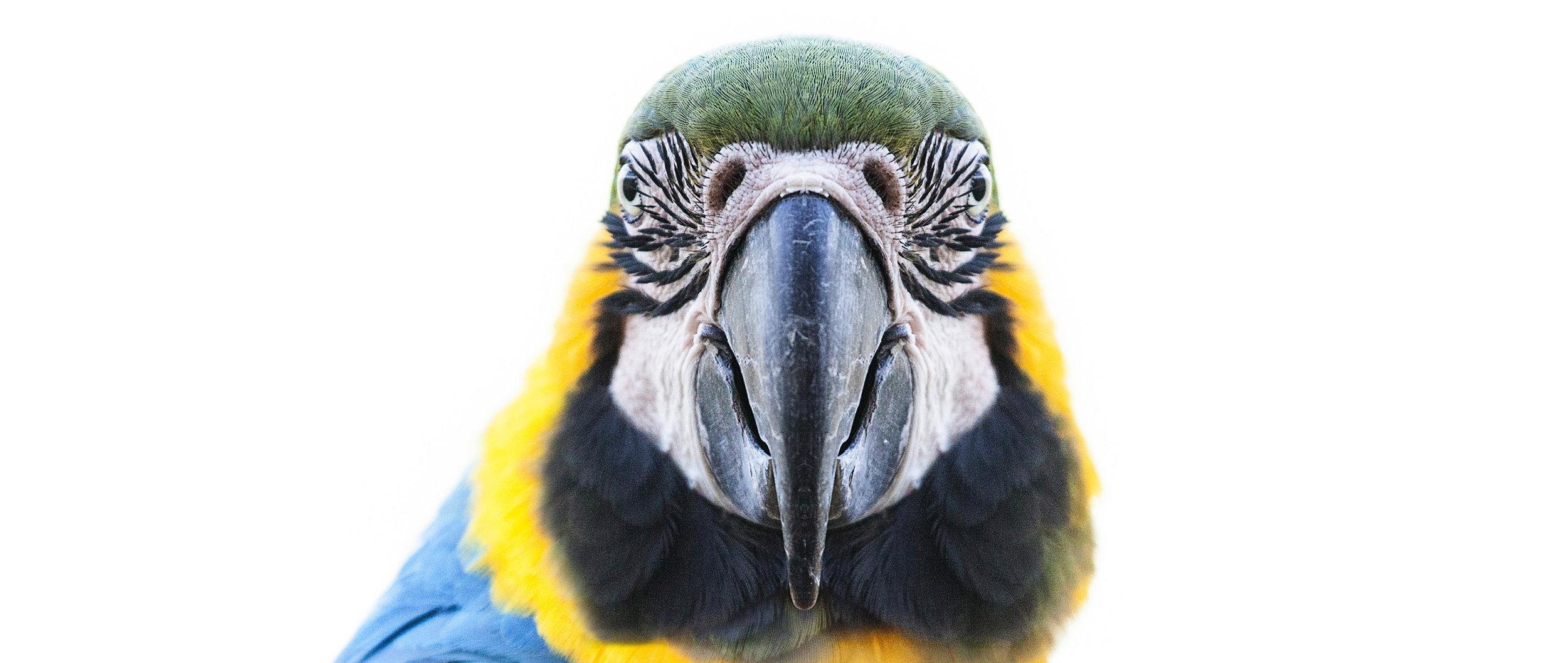 Portrait_2_Macaw_Pano2a.jpg