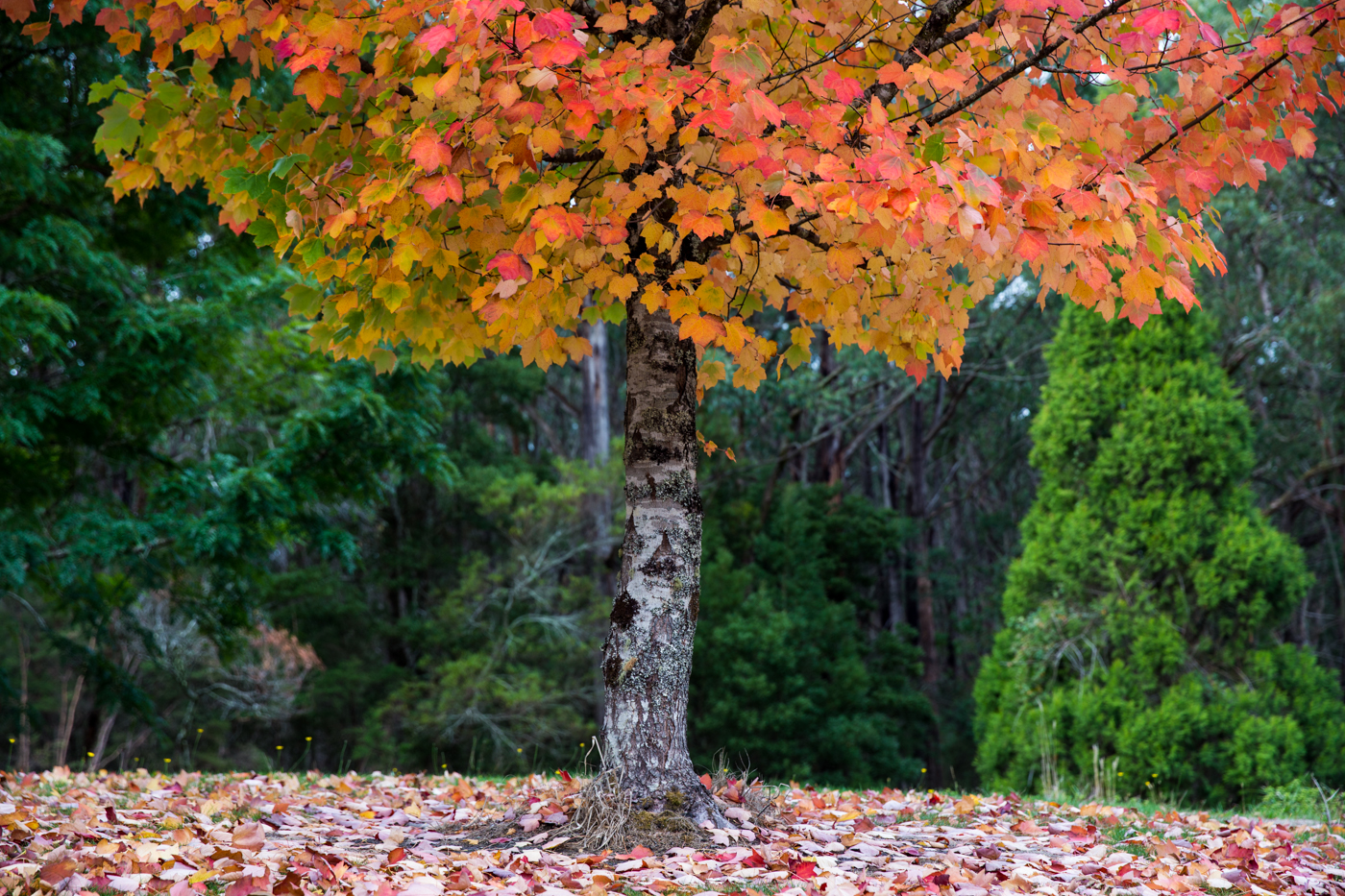 Autumn colours are a lovely thing. A lone tree prepares for winter near Forrest, Victoria.