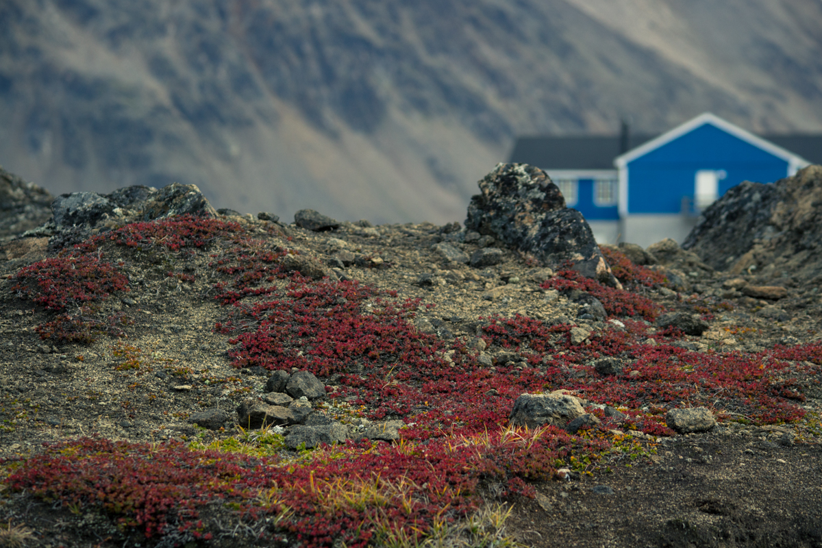 Greenland is certainly barren, but not entirely bereft of colour. Scarlet creepers mingle with the vibrant abodes of the locals, in the not-as-cold summertime.