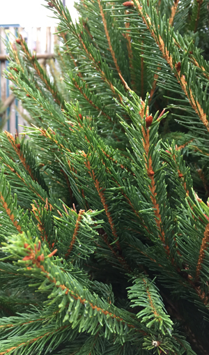 norway-spruce-small.jpg