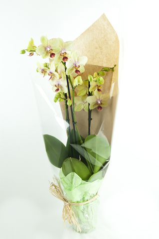 Orchid - gift wrapped boma.jpg