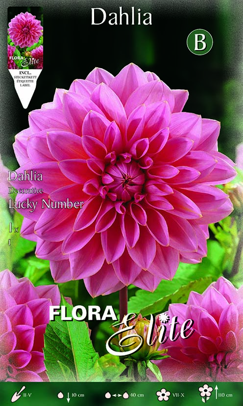 Dahlia 'Decorative Lucky Number'