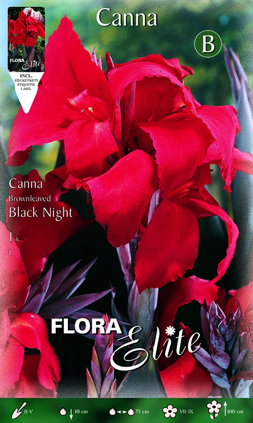 Canna Brownleaved 'Black Night'