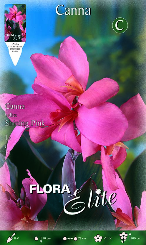 Canna Brownleaved 'Shining Pink'