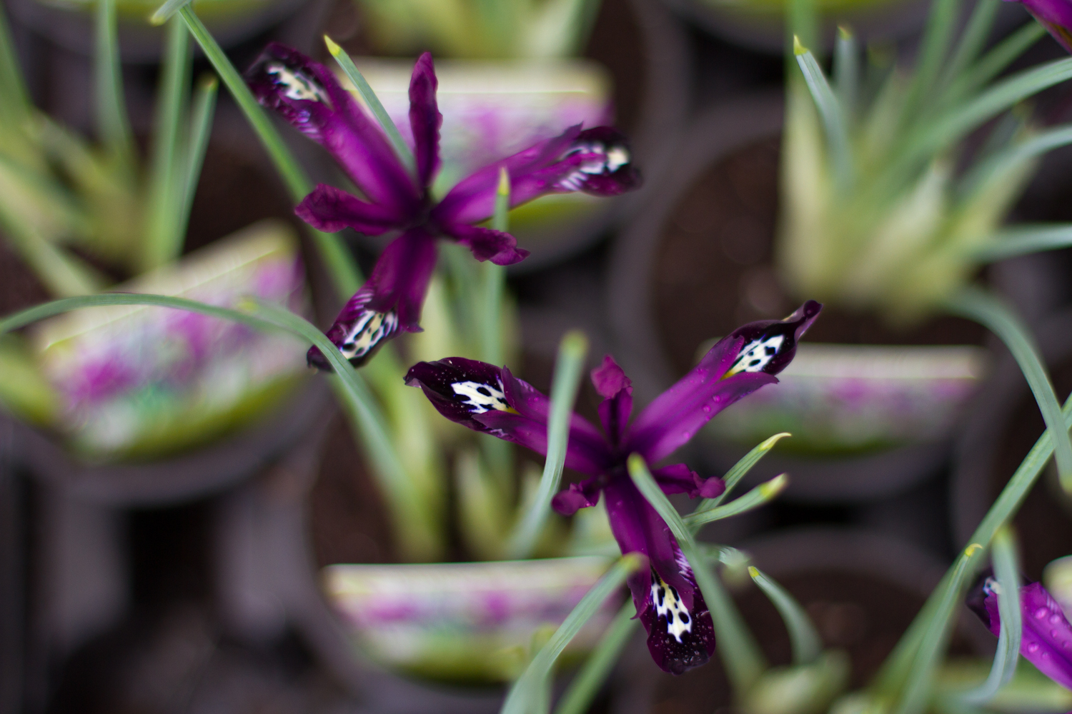 Potted Bulbs - Click for more