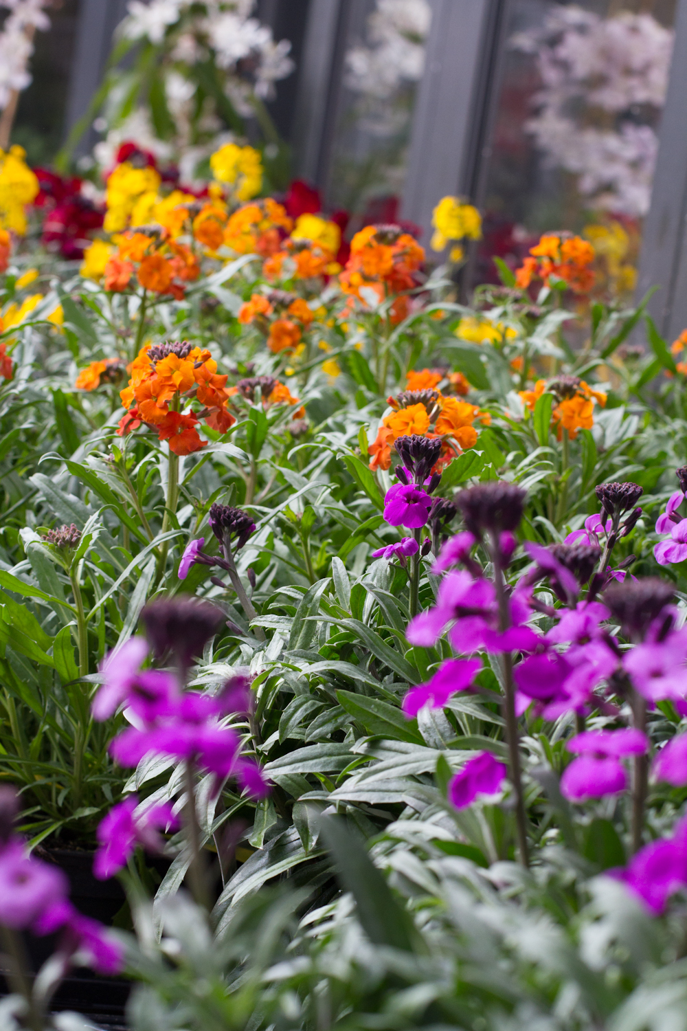 Erysimum / Wallflower