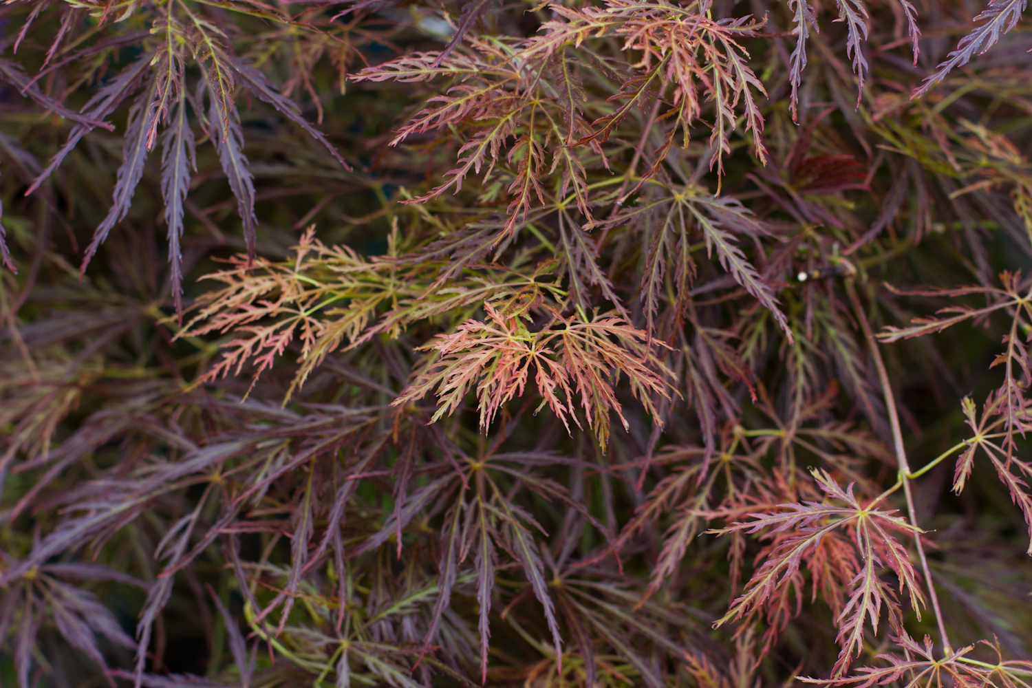 Acer / Japanese Maple