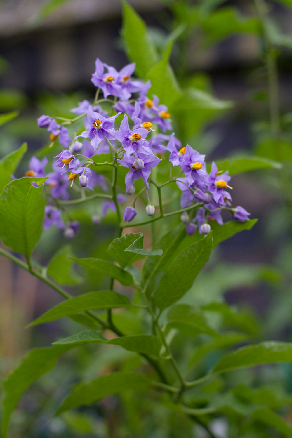 Solanum / Potato vine